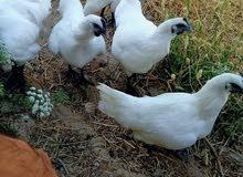 دجاج لامبركيني