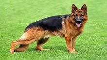 اريد كلب للتبني جيرمن شيبيرد