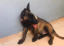كلب بلجم ملينو البيع