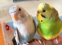 hand tamed budgies for sale