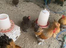 دجاج الكوشن