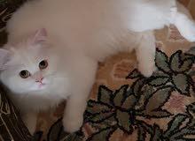 قط شيرازى طبرجل الجوف
