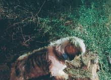 كلب شيتزو بيور (ذكر) للبيع
