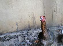 دجاجه هنديه للبيع