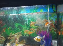 fish tank and 19 fish gold fish