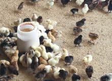 صيصان دجاج عماني بـ200 بيسه توصيل مجاني للجملة وكذالك يوجد لدينا بيض بط مخصب