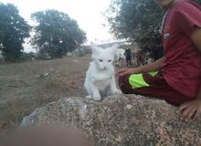 قطه بيض لون نادر شيرازي عيون ملونه