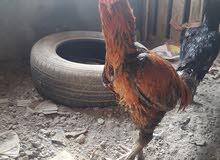 دجاجه وديج هنديات