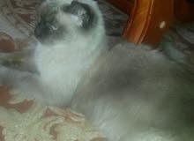 قطة سيامي العمر سنة