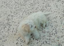 كلاب فرنسي تيرير عمر شهرين