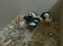 افراخ دجاج عرب للبيع