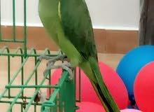 للبيع طير يتكلم
