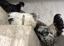 ديك براهما ودجاجه براهما لبيع  حسب ما في الصوره