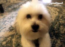 مطلوب كلب للتبني او الشراء بسعر مناسب رمزي