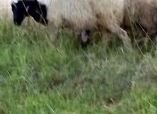 خروف وطني عمره8شهور