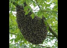 شهد عسل السدر جديد و عسل سدر و سمر خلايا