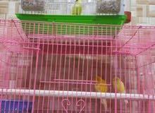 طيور كناري زوجين