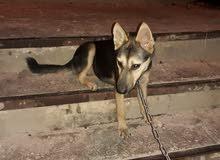 كلب جيرمن شيبرد بيور للبيع بسعر مغري