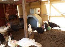 مجموعة دجاج للبيع