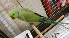 Green parrot  for sell for Details 0539374203