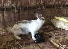 بيع ارنب ذكر للذبح او التربيه الوزن اثنين كيلو ونصف  مع القفص