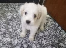 كلب تيرير مكانه الحريه سعر 150 رقم
