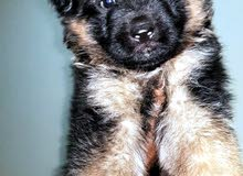 German Shepard Showline Long hair Male Puppy