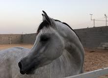 حصان واهو  ممتاز
