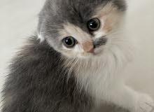 2 month old scottish fold female kitten for sale (rare color)