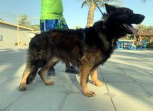german shepard sable / with pedigree for mating only