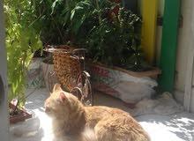 قط ذكر بالغ تركي اللون اشقر ملكي للبيع