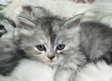 قطط شيرازي 47 يوم