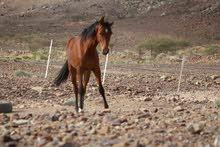 حصان عربي اصيل ابن بلاك مسلم