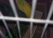 زوجين مجنسات من ذكر اسبنكل وانثي فادجو وقاعد صورة البات والام في صورة