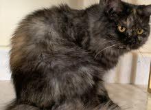 قطط شيرازي ثنتين اناث وذكر اقراء الوصف