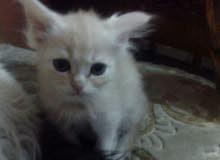 قط ولد شيرازي عمره شهرين