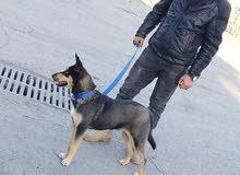 كلب خصله نادره هجين الجيرمن شبرد بيور على الهاسكي مالموت عيون كريستال بيور