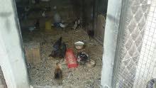 دجاج  بياض  بلدي و فيومي  نخب اول  270  -320  بيضه سنوي   +  بطتين نوع  بلدي