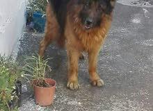 كلب berger allemand
