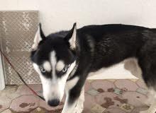 كلب هاسكي للبيع بسعر 2000درهم
