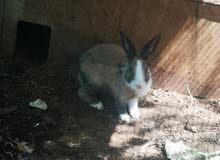 أرانب عمانيه منتجىه للبيع