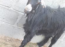 شاه عمانية عشاار