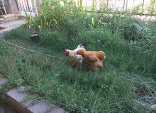 دجاج براهما عدد 9 ديك و 8 دجاجات لون احمر السعر 450 الف