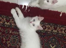 للبيع قطط شيرازي اصلى عيون زرقاء