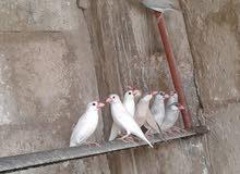 طيور جاوا شغالة