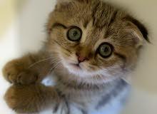 Scottish Fold Kitten Female Marble انثى سكوتش فولد