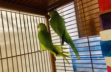 Two Indian Ringneck Parrot 7 month old for AED 400