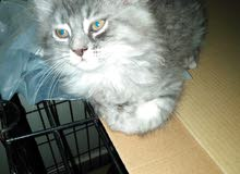 cats for sale قطط للبيع