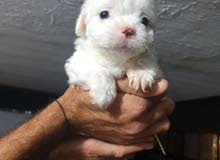 bichon loulo puppies