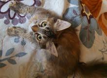 قطه شيرازي شورت هير